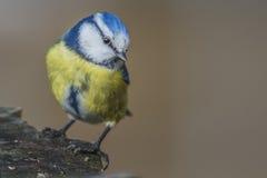 欧亚蓝冠山雀(Cyanistes caeruleus或帕鲁斯caeruleus) 图库摄影