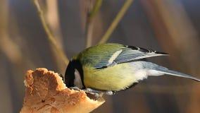 欧亚蓝冠山雀/Cyanistes caeruleus/啄白面包外壳特写镜头 影视素材