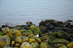 欧亚蛎鹬和一只支持黑的鸥,因奇科姆岛海岛, 库存图片