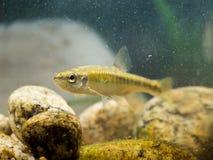 欧亚鲤科小鱼在自然生态环境 免版税库存图片