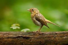 欧亚鹪鹩,穴居人穴居人,非常小鸟 坐好的地衣树枝与,小的鸟在自然前面 库存图片
