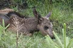欧亚麋驼鹿属驼鹿属 免版税图库摄影
