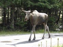 欧亚麋驼鹿属驼鹿属 库存照片