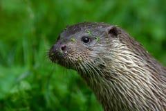 欧亚水獭,水獭属水獭属,细节画象水动物在自然栖所,德国 水掠食性动物细节画象  生命 库存图片
