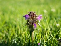 欧亚活血丹植物在好的草坪 库存照片