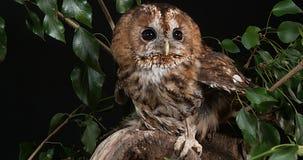 欧亚黄褐色的猫头鹰,猫头鹰类aluco,在叶子,诺曼底的成人, 影视素材