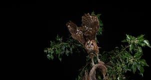 欧亚黄褐色的猫头鹰,猫头鹰类aluco,在飞行中成人,诺曼底, 影视素材
