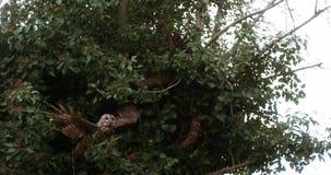 欧亚黄褐色的猫头鹰,猫头鹰类aluco,在飞行中成人,离开从树,诺曼底, 股票录像