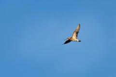 欧亚麻鹬Numenius arquata在飞行中在蓝天backgro 免版税库存图片