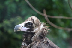 欧亚griffon在莫斯科动物园里 免版税库存图片