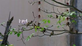 欧亚montanus传球手麻雀结构树 影视素材