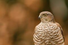 欧亚sparrowhawk特写镜头 免版税图库摄影