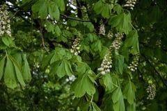 欧洲七叶树在绽放的七叶树果实树 免版税库存图片