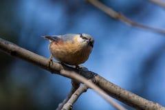 欧洲五子雀在树皮的五子雀类europaea 库存图片