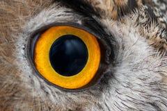 欧洲产之大雕眼睛特写镜头,欧亚欧洲产之大雕的眼睛,腹股沟淋巴肿块腹股沟淋巴肿块 免版税库存照片