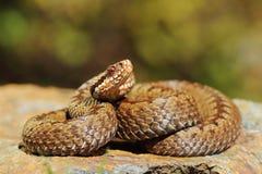 欧洲人在岩石的横渡的蛇蝎 免版税库存图片