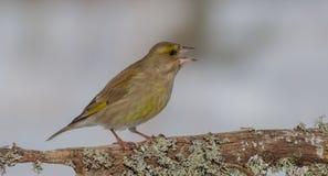 欧洲人Greenfinch -虎尾草属虎尾草属/Carduelis虎尾草属 免版税库存图片