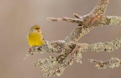 欧洲人Greenfinch -虎尾草属虎尾草属/Carduelis虎尾草属 图库摄影