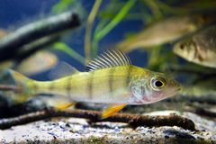 欧洲共同的栖息处,鲈鱼属fluviatilis,在群落生境水族馆,水下的动物区系照片的淡水食肉动物的鱼 库存照片