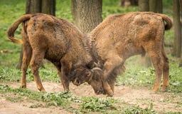 欧洲北美野牛、亦称欧洲野牛或者欧洲木北美野牛 免版税库存图片