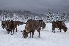 欧洲北美野牛人口的恢复的欧洲节目, Karpaty储备,乌克兰 免版税库存照片