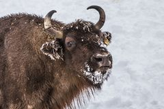 欧洲北美野牛人口的恢复的欧洲节目, Karpaty储备,乌克兰 库存照片