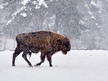 欧洲北美野牛北美野牛bonasus在自然生态环境 免版税图库摄影