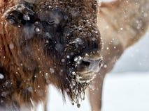 欧洲北美野牛北美野牛bonasus在自然生态环境 库存照片
