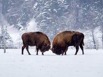 欧洲北美野牛北美野牛bonasus在自然生态环境 免版税库存照片