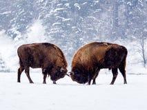 欧洲北美野牛北美野牛bonasus在自然生态环境 免版税库存图片