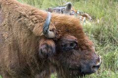 欧洲北美野牛北美野牛bonasus画象  欧洲野牛 免版税库存照片