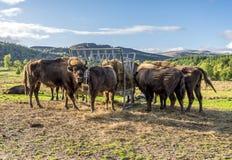 欧洲北美野牛在户外,苏格兰吃从一个哺养的驻地的干草 库存照片