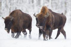 欧洲北美野牛-北美野牛bonasus在克内申森林波兰里 库存图片