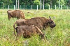 欧洲北美野牛iBison bonasus n它的自然生态环境 免版税库存照片