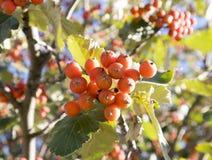 欧洲在分支的花揪山梨aucuparia橙色果子 库存例证