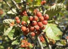 欧洲在分支的花揪山梨aucuparia红色果子 皇族释放例证