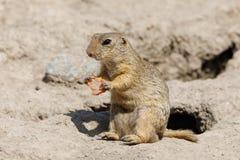 欧洲地松鼠地面松鼠类黄鼠属 库存照片