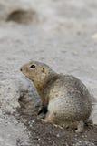 欧洲地松鼠地面松鼠类黄鼠属 图库摄影