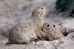 欧洲地松鼠地面松鼠类黄鼠属 免版税库存图片