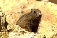 欧洲地松鼠- SYSEL OBECNà  -地面松鼠类黄鼠属 库存图片