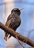 欧洲坐的starling的结构树 库存照片