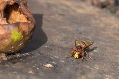 欧洲大黄蜂坐老被风化的表面在一个腐烂的梨附近 调遣结构树 免版税图库摄影