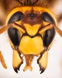 欧洲大黄蜂,大黄蜂,大黄蜂类crabro -女性 免版税库存图片