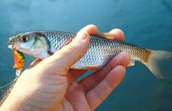 欧洲小河淡水鳔形鱼 免版税图库摄影