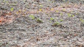 欧洲山啄木皮库斯viridis在早期的春天的寻找食物在地面 股票录像