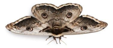欧洲巨型最大的飞蛾孔雀 免版税库存图片