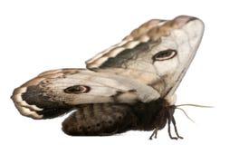 欧洲巨型最大的飞蛾孔雀 库存图片