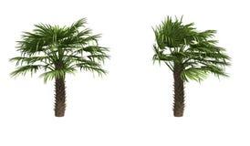 欧洲扇形棕榈 皇族释放例证