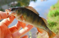 欧洲栖息处鱼 免版税库存图片