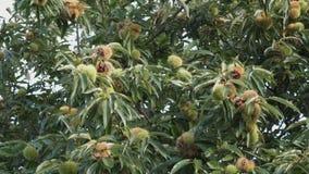 欧洲栗木栗属漂白亚麻纤维的树4K录影果壳和叶子  股票视频